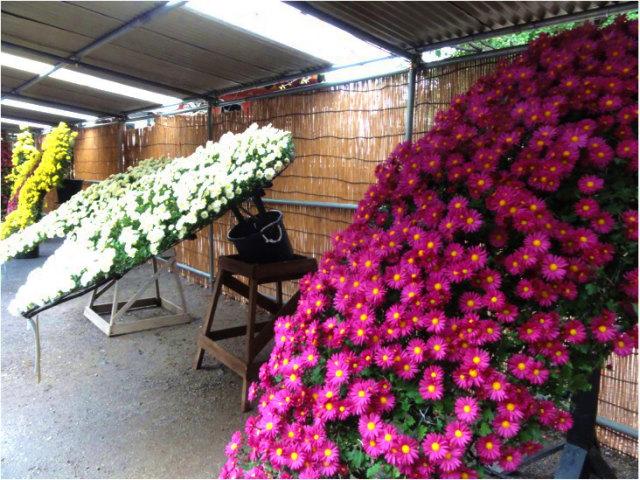 懸崖作り菊