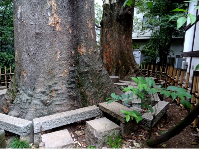 川越氷川神社(ご神木)