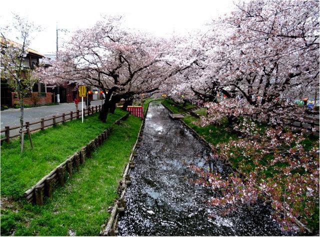 新河岸川桜