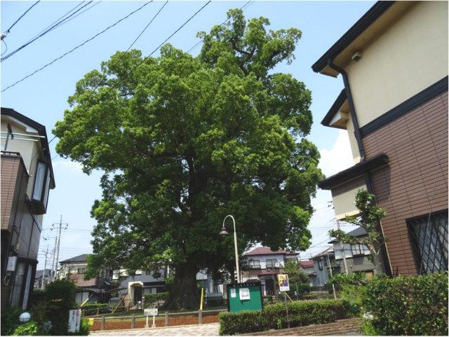 並木の大クス