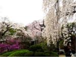 3/30 桜の開花