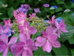 6/15 紫陽花