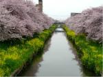 桜と菜の花めぐり