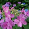 梅雨の晴れ間に紫陽花を巡り、夜はホタル観察会〜川越大師喜多院ほか〜